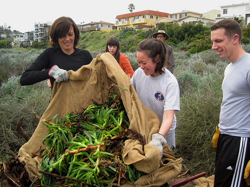 Volunteers removing non-native, invasive ice plant from the wetlands