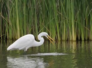 White egret at the Ballona Wetlands