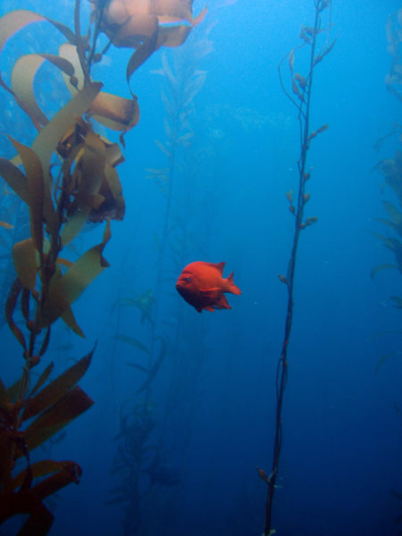 Marine Protected Area Garibaldi in Kelp Forest