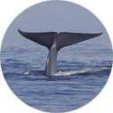 King Harbor offers the best chance to spot a blue whale