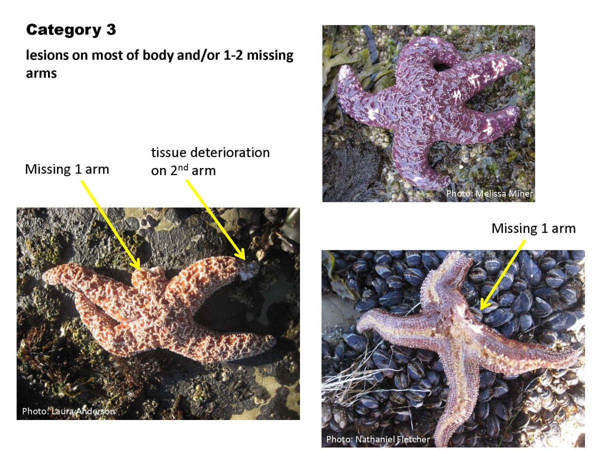 Documenting the presence of sea star wasting symptoms