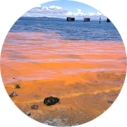 Algal blooms cause red tides.