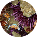 You can find spiky purple sea urchins like these at Abalone Cove Beach