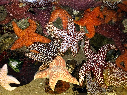 Touch tank sea stars at Santa Monica Pier Aquarium