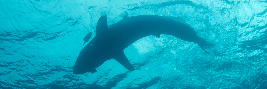 FAQ: Should You Be Scared About More Sharks in the Bay