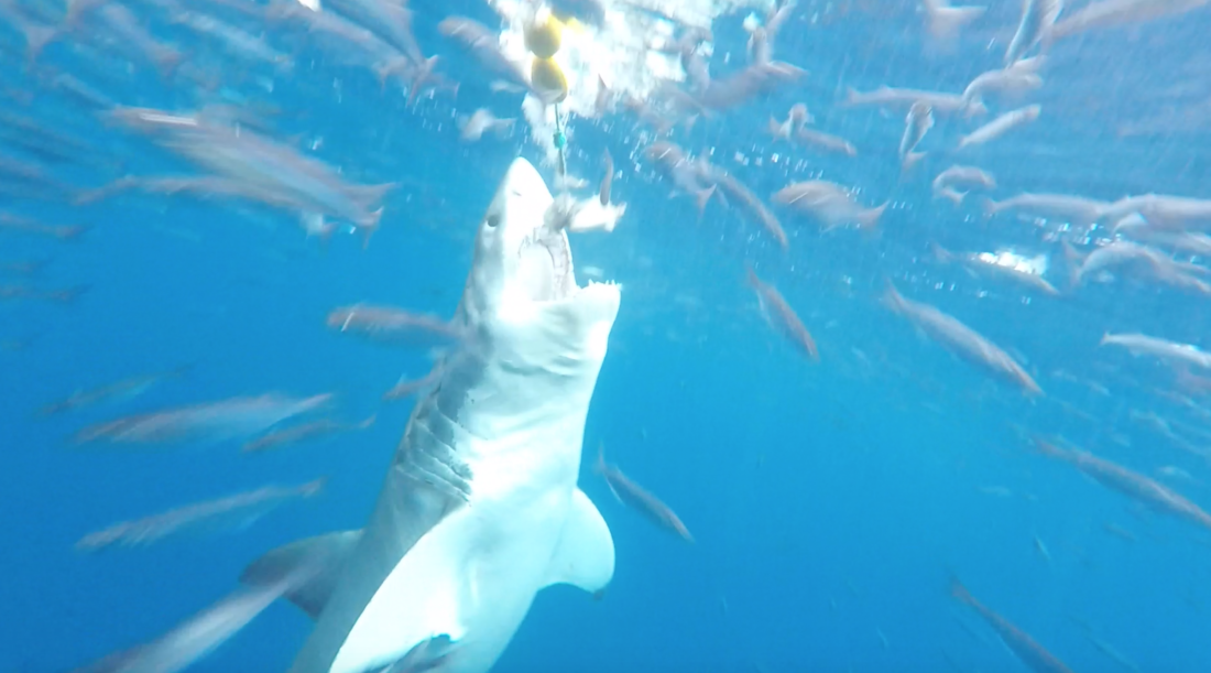California Sharks Archives - Heal the Bay