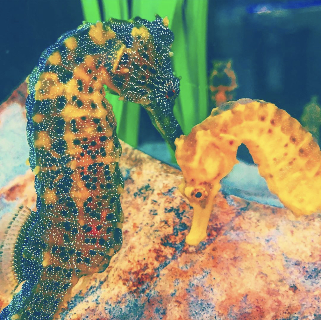Pacific Seahorses at Heal the Bay Aquarium