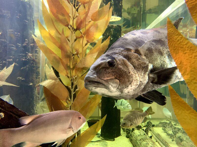 giant sea bass at Heal the Bay Aquarium